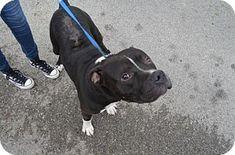 Bryan, TX - Pit Bull Terrier. Meet HAMBURGLAR, a dog for adoption. http://www.adoptapet.com/pet/16965182-bryan-texas-pit-bull-terrier