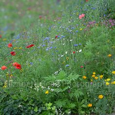 wildflower meadow color photograph  red green by GardenCapture, $22.00