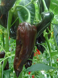 Chilli Pepper Brown Poblano: The poblanos are some of the most popular chillis from Mexico. This one produces large fruits on compact plants that ripen to a glossy chocolate hue. They are fairly mild and perfect for roasting or stuffing.