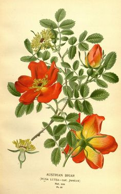 """""""Austrian Briar"""" ~ Favourite flowers of garden and greenhouse, 1896."""