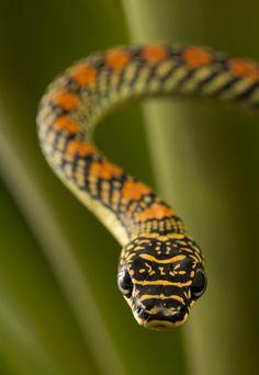 """funkysafari: """"Paradise flying snake (chrysopelea paradisi) by AngiWallace """""""