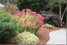 Seedum Autumn Joy (info and how to prune)