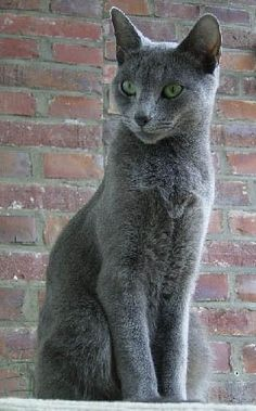 A cat with blue coat color is illustrated by this stately Russian Blue.  (Looks just like my Baby)