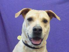 Petango.com – Meet Molly, a 2 years Retriever, Labrador / Terrier, Pit Bull available for adoption in SAINT PAUL, MN
