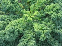 Love to make kale chips in the oven! tweisman Love to make kale chips in the oven! Love to make kale chips in the oven! Herb Seeds, Garden Seeds, Kale Juice Recipes, Le Chou Kale, Balsamic Dressing, Dehydrator Recipes, Kale Chips, Plantation, Superfoods