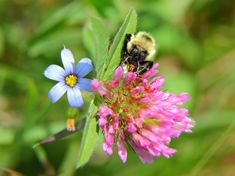 bumble-bee-summer-clover.jpg (3706×2770)