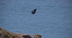 Chough on Rinsey cliff near Praa sands, cornwall. Photo taken by Claire Hawken