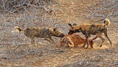 Wild Dogs killing an Impala on the near the Olifants River Kruger National Park, National Parks, African Wild Dog, Apex Predator, Cheetahs, Wild Dogs, Leopards, Hunting Dogs, Dog Walking
