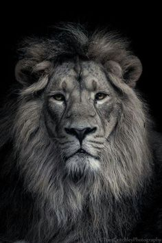 Leo lion tattoos, lion painting, big animals, animals and pets, gato grande Female Lion Tattoo, Lion Head Tattoos, Lion Images, Lion Pictures, Lion Wallpaper, Animal Wallpaper, Regard Animal, Lion Tattoo Sleeves, Lion Photography