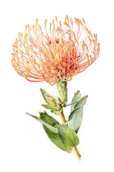 Tu recepcja - Botanical watercolors by Rachael Barkess Protea Art, Protea Flower, Australian Native Flowers, Australian Plants, Botanical Drawings, Botanical Illustration, Botanical Flowers, Botanical Prints, Floral Illustrations