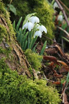 Snowdrop woods in the Sherborne Estate, Gloucestershire by Alun Ward.