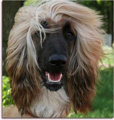 Afghan Hound | For more photos visit DOGSArena.com