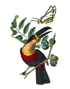 Le #toucan ariel possède une large bavette jaune orangé brillant sur le poitrail, contrastant avec le corps, les ailes et la queue noires. Il se nourrit principalement de #fruits qu'il cueille au bout des branches grâce à son long bec. Le toucan ariel est présent dans toute la Guyane. Il affectionne les formations marécageuses du littoral #oiseau #volatile #numelyo Agriculture, Toucan, Lyon, Ariel, Branches, Littoral Zone, Natural History, Lining Up, Yellow
