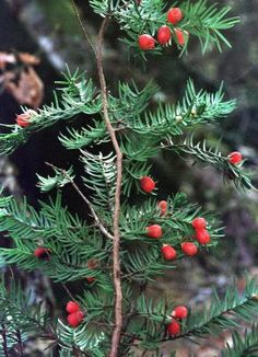 La buena química del tejo, un árbol tóxico que ayuda a combatir el cáncer