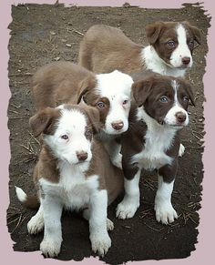 red border collie pups - going to have one, one day!