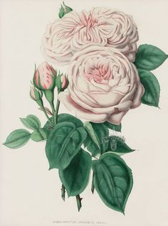 Image result for drawings of vintage roses