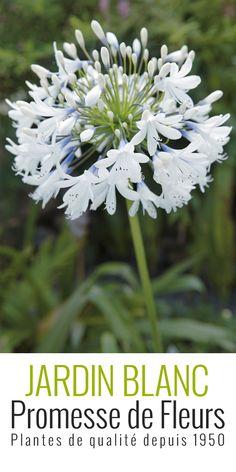 Agapanthus Queen MumL'Agapanthe (ou Agapanthus) Queen Mum fleurit longtemps, de juin à août. Elle offre de grandes ombelles de fleurs au coloris unique, bleu-violet à la base, se dégradant de blanc pur à l'extrémité. Les fleurs sont en forme de trompettes. Coupées et mises dans un vase, elles apporteront de la fraicheur à votre maison. Le feuillage de l'agapanthe est persistant en climat doux. Il reste décoratif tout au long de l'année.