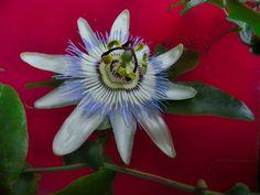 Momentsbook.com: Το λουλούδι του πάθους απροσδιόριστα μπλεγμένο στη...