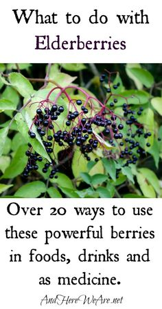 This seems to be the year of Elderberry Madness– we have a huge crop over here, and so many people are becoming more attuned to their environments, finding their local elderberries, and wanting to use them.  So I thought it would be fun to share a bunch of ideas about what to do with elderberries– …