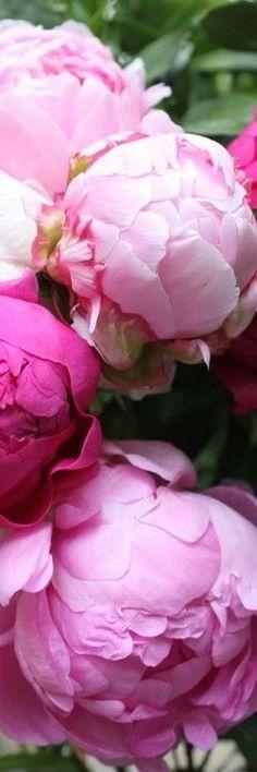 Savourez l'instant : la Pivoine ne fleurit qu'une seule fois par an et cela ne dure que 20 jours !: