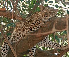 South Luangwa boasts high wildlife densities. Learn more & explore our offerings in Zambia > https://www.cat-africa.com/en/crafted-programs?destinations%5B%5D=43&luxury=true&premium=true
