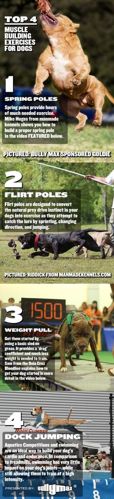 pitbull muscle building infographic