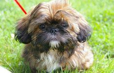 Pekingese Puppies For Sale, Puppies Near Me, Dachshund Puppies For Sale, Teacup Puppies For Sale, Cute Puppies, Poodle Puppies, Perro Shih Tzu, Yorkie Puppy, Shih Tzu Puppy