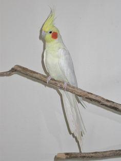 Cockatiel - Lutino Cockatiel Care, Natural Phenomena, Bird Feathers, Animals, Parrots, Cocktails, Club, Pets, Friends