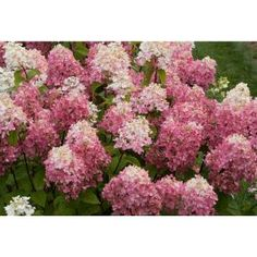 Proven Winners 3 Gal. Firelight ColorChoice Hardy Hydrangea HYDPRC1093135 at The Home Depot - Mobile