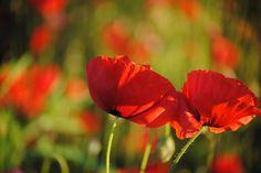 Resultado de imagem para poppy flowers