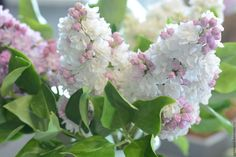 Want the most fragrant plant on earth in your garden? Learn about planting lilac bushes and how to grow them, including how to prune lilacs, and lilac care! Lilac Tree, Lilac Flowers, Wisteria How To Grow, Lilac Varieties, Propagate Succulents From Leaves, Lilac Plant, Gemüseanbau In Kübeln, Lilac Bouquet, Lilac Bushes