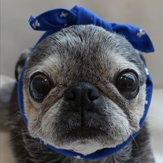 "Receive excellent suggestions on ""pug puppies"". They are on call for you on our internet site. Pug Love, I Love Dogs, Baby Pug Dog, Old Pug, Pug Puppies, Terrier Puppies, Chihuahuas, Boston Terrier, Cute Pugs"