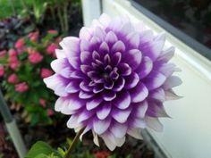 Mexico Flower - Dahlia Flowers Biology - Stewardship Weekly Dahlias