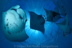 """A photograph by Tobias Friedrich.   """"Manta Madness""""  Judged Best of Show in the Ocean Art Photo Competition. a beautiful photo of swimming manta rays."""