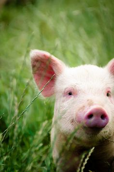 "raspberrytart: "" piggy (by Zanthia) "" This Little Piggy, Little Pigs, Wyoming, Farm Animals, Cute Animals, Baby Pigs, All Gods Creatures, Farm Yard, Beautiful Creatures"