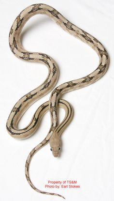 Trans Pecos Rat Snake (non venomous)