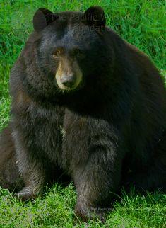 Chubby black bear prob the one eating up all my corn lol