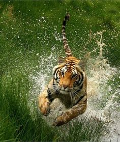 """Tiger: """"Leaping out of the water!"""""""