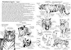 Animal Anatomy And Biology | The White Tiger