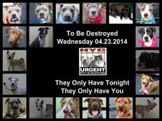 TO BE DESTROYED - 04/23/14 PITTIES ARE IN DANGER AGAIN. ALL THESE DOGS COUNT ON US!!! LET'S NOT LET THEM DOWN!!! PLEASE OPEN YOUR HEARTS AND PLEDGE, TAKE THEM HOME, BUT BE QUICK AS TIME IS TICKING AWAY. THE LIST IS VERY LONG AGAIN AND WE WE HAVE SOLITTLE TIME SO BE QUICK WHEN MAKING UP YOUR UP. https://www.facebook.com/media/set/?set=a.611290788883804.1073741851.152876678058553&type=3