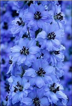 Delphinium Availability: April-October and part of November Blue Garden, Dream Garden, Amazing Flowers, Pretty Flowers, Garden Plants, Mother Nature, Flower Power, Perennials, Planting Flowers