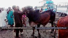 Es K Colors kis kisko Pasand Hain  2 Daatn Bachra ! Kitnay Ka Hona Chayay ? updates by Bakra Mandi Pakistan Join us on www.fb.com/Startfun Visit us www.BakraMandiPakistan.com