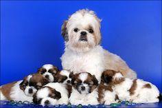 Mom & little ones - shih tzu dogs -