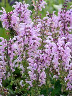 Salvia Ballerina Pink -- Bluestone Perennials Garden Shrubs, Garden Plants, Flowers Perennials, Planting Flowers, Plants That Like Shade, Salvia Plants, Meadow Sage, Sage Plant, How To Attract Hummingbirds