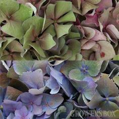 Antique Hydrangea colors, offered by Growers Box, wholesale flowers