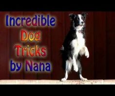 Nana the Border Collie performs amazing dog tricks! All of Nana's training is done with progressive reinforcement and clicker training. We hope you all enjoy. Puppy Training Guide, Puppy Obedience Training, Dog Training Methods, Basic Dog Training, Dog Training Techniques, Training Dogs, Positive Dog Training, Easiest Dogs To Train, Tips