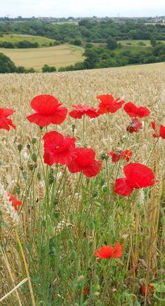 A smattering of poppies in a wheat field: Castle Hill, Kirby-in-Ashfield, Notts Love Flowers, Wild Flowers, Beautiful Flowers, Belleza Natural, Red Poppies, Beautiful World, Mother Nature, Flower Power, Scenery