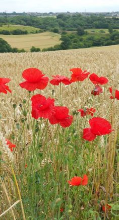 Poppy Field, England • My poppy orchard is exactly like this one...except that it's made out of Leggos.