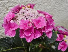Hydrangea sp. pink with large flowers and water drops | Flickr - Photo Sharing!