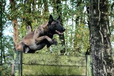 Athlete to the core Belgian Malinois Breeders, Malinois Puppies For Sale, Dogs For Sale, Wolfsbane, Athlete, Core, Animals, Service Dogs, Animales